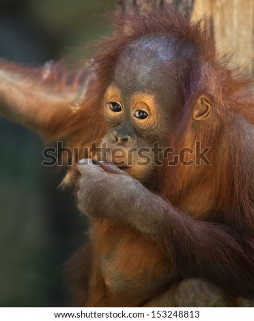 Thoughtful expression of an orangutan baby. Sad eyes a young great ape. Human expression on the face of a man-like monkey. Cute animal in shaggy red fur. - stock photo