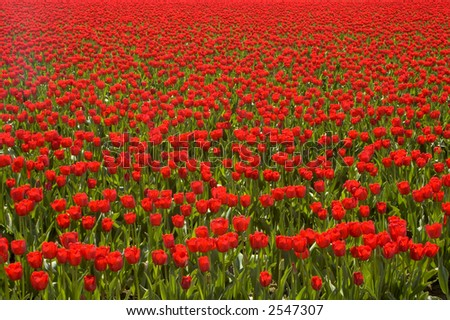 Thousands of bright red tulips - stock photo