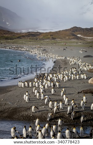 Thousands of King Penguins fleeing from glacier winds - stock photo