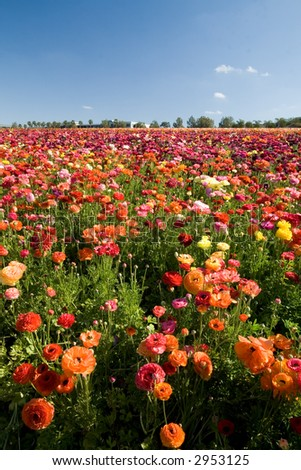 Thousands of Ranunculus cover the flower fields in Carlsbad, California. - stock photo