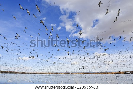 Thousands of snow geese at the Bosque del Apache wildlife refuge in New Mexico. - stock photo