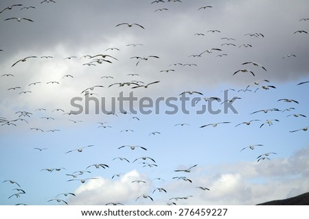 Thousands of snow geese fly over the Bosque del Apache National Wildlife Refuge, near San Antonio and Socorro, New Mexico  - stock photo