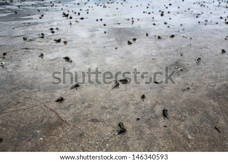 thousands of spiral shells crawl on the wetland beach in Lantau island - stock photo