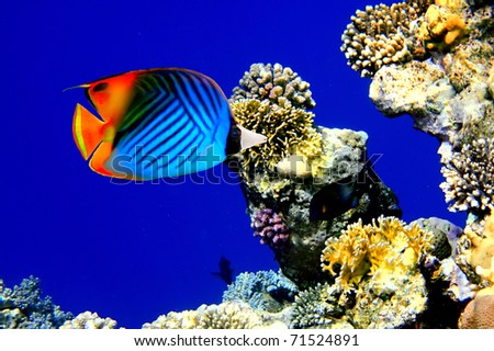 Threadfin butterflyfish (Chaetodon auriga) and coral reef - stock photo