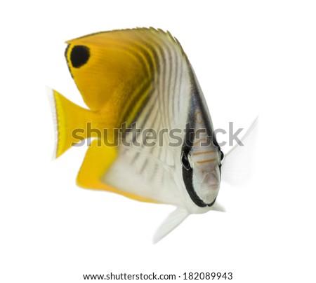 Threadfin Butterflyfish, Chaetodon auriga, isolated on white - stock photo