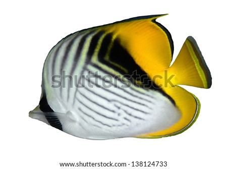 Threadfin butterflyfish (Chaetodon auriga) isolated on white background. - stock photo