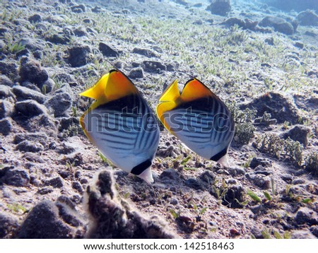 Threadfin butterflyfish couple - stock photo