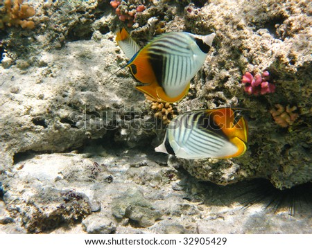 Threadfin butterflyfishes - stock photo