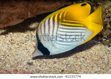 Threadfin or Auriga Butterflyfish - stock photo