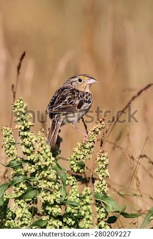 Threatened Grasshopper Sparrow (Ammodramus savannarum) on a plant stalk - stock photo