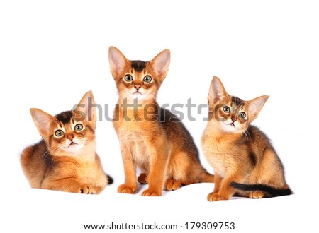 Three abyssinian kittens portrait isolated on white - stock photo