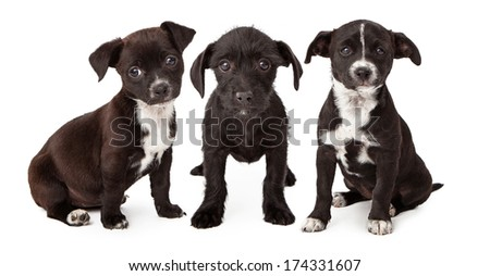 Three adorable eight week old puppies looking at the camera - stock photo