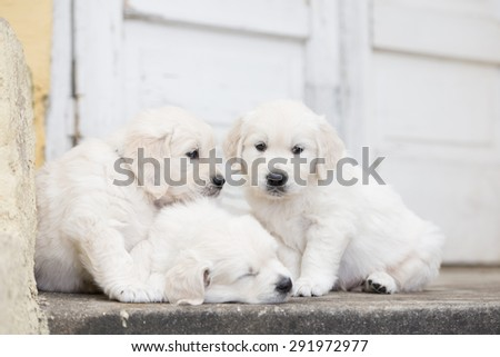 three adorable golden retriever puppies - stock photo
