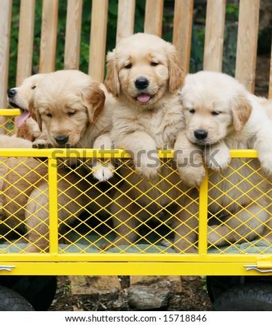 three adorable golden retriever puppies in yellow cart - stock photo