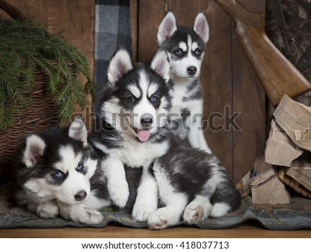 Three adorable puppies of Siberian Husky dog indoors