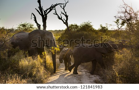 Three AFRICAN BUSH ELEPHANTS (Loxodonta africana) crossing a road - stock photo