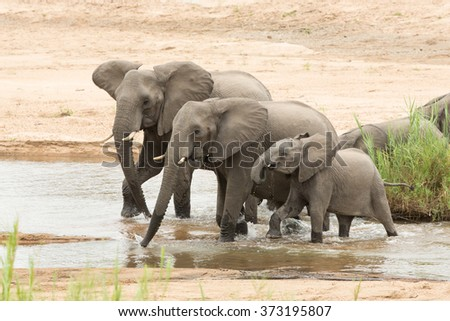 Three African Elephants drinking from river in Kruger Park South Africa - stock photo