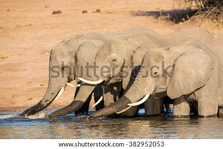 Three African Elephants drinking water in the Chobe River in Botswana - stock photo