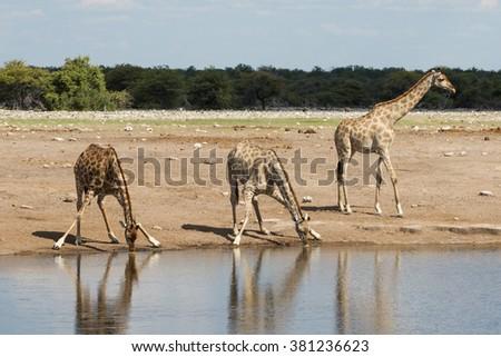Three African Giraffe drinking water in Etosha National Park in Namibia - stock photo