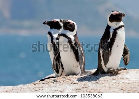 Three African (Jackass) penguins (Spheniscus demersus) sunning themselves on boulders - stock photo