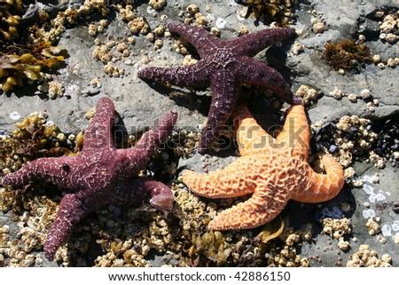 Three Alaskan Starfish - stock photo