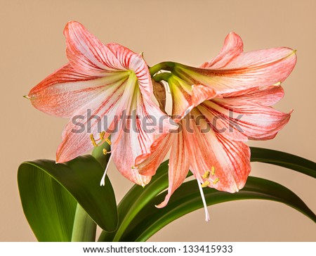 Three Amaryllis (Hipperastrum) flowers with stem on yellow background - stock photo