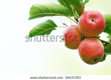 Three apples with leaves isolated on the white. - stock photo