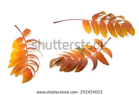 Three autumn rowan leafs isolated on white background  - stock photo