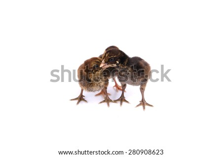 Three baby chickens standing next to each other isolated on white background - stock photo