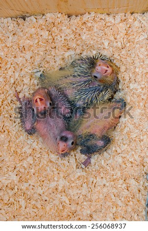 Three baby cockatiels inside a nest box - stock photo