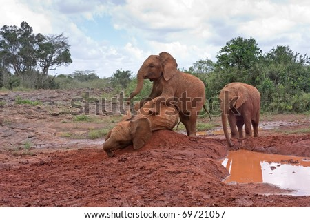 Three baby elephants play each other on red clay heap near the muddy pool with trees and bushes in background. Sheldrick Elephant Orphanage in Nairobi, Kenya. - stock photo