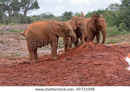Three baby elephants stay head-to-head near red clay heap with trees and bushes in background. Sheldrick Elephant Orphanage in Nairobi, Kenya. - stock photo