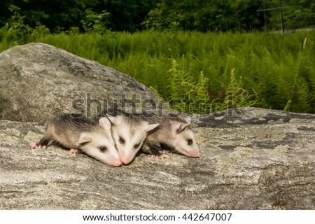 Three Baby Opossum  - stock photo