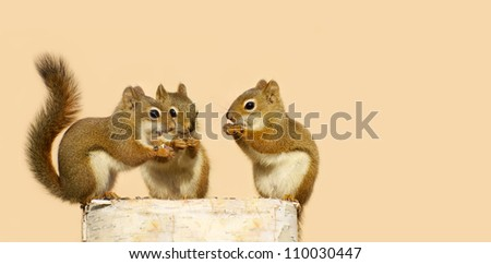 Three baby squirrels on a birch log sharing some sunflower seeds on a neutral background with copy space. Part of a  series. - stock photo