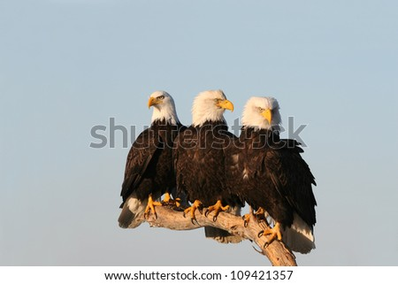 Three Bald Eagles perched close together. - stock photo