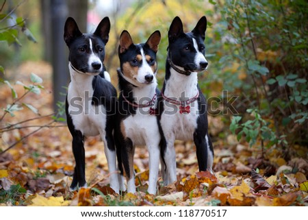 Three Basenji dogs in autumn park - stock photo
