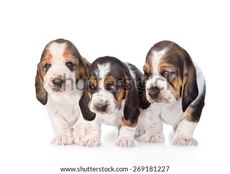 Three basset hound puppies standing in front. isolated on white background - stock photo