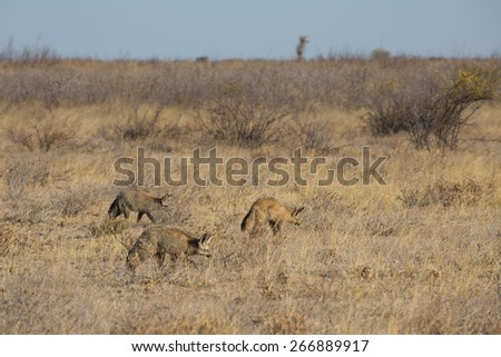 Three bat-eared foxes listening for movement beneath the dry earth of the Central Kalahari - stock photo