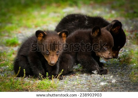 Three bear cubs look for food in the mountains of western North Carolina. - stock photo