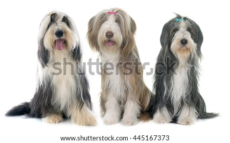 three bearded collie in front of white background - stock photo