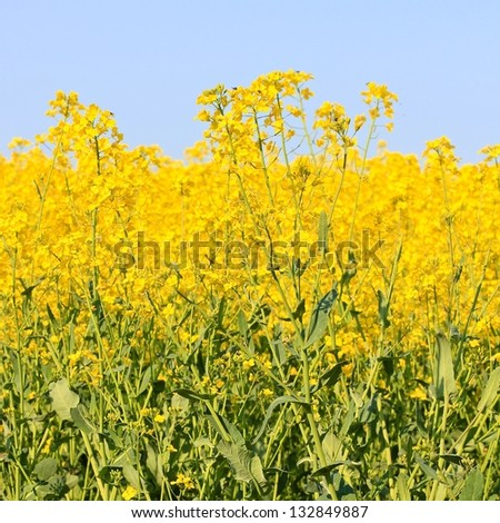 Three beautiful bands of horizontal colour including sky blue, yellow and green in square format. Taken in a field of Rapeseed in flower in the Cotswolds, rural Gloucestershire England. - stock photo