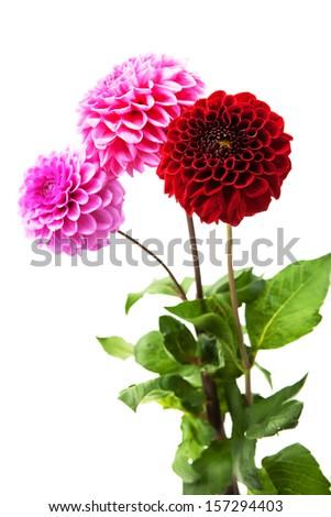 Three beautiful chrysanthemum isolated on white background.  - stock photo