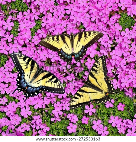 Three beautiful Eastern Tiger Swallowtail butterflies (Papilio glaucus) at pink creeping phlox.  - stock photo