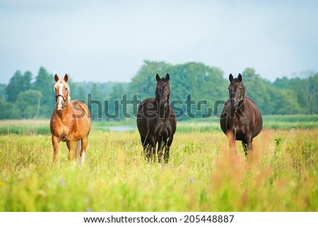 Three beautiful horses standing on the field in summer - stock photo