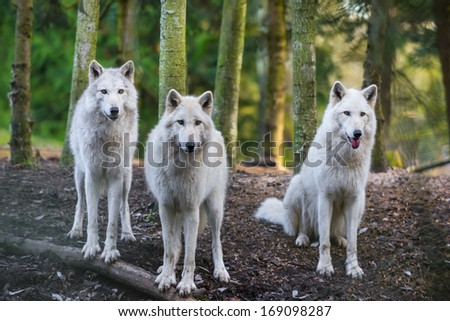 Three beautiful white wolfs looking directly into the camera - stock photo