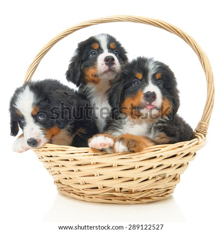Three Bernese Mountain Dog puppy in a basket on a white background - stock photo