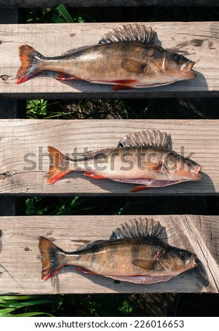 Three big fish (Perch) freshly caught on the wooden board of a pier. - stock photo