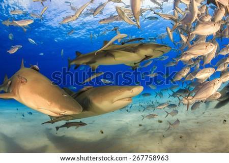 Three big lemon sharks and school of jack fish, diving in Tiger beach, Bahamas - stock photo