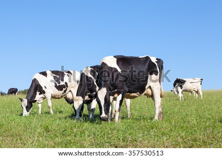 Three black and white  Holstein dairy cattle grazing in a pasture, close up skyline view with one raising her head to look at the camera - stock photo