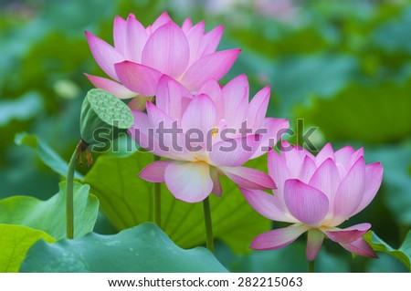 Three blooming lotus flowers - stock photo